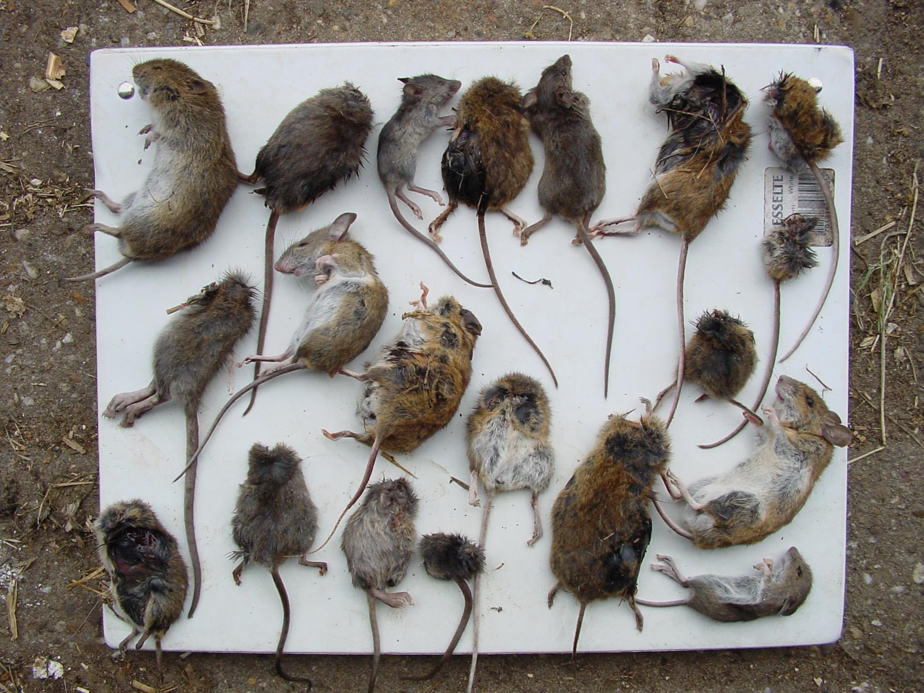 Twee soorten wilde muizen in huis for Dus welke architectuur